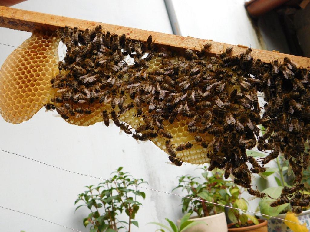 Buckfast Biene