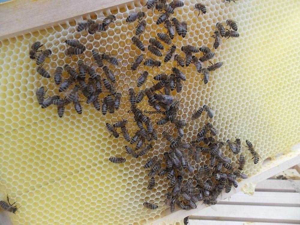 Mittelwand Bienenstock